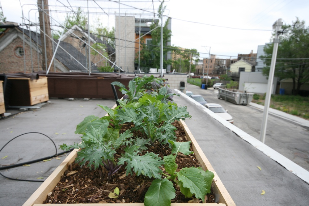 a rooftop grows in chicago | the paupered chef