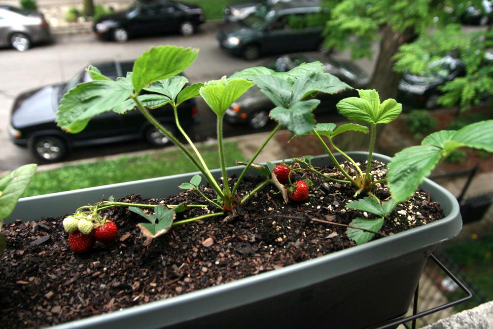 Вырастить клубнику в квартире на балконе - реально ли?.